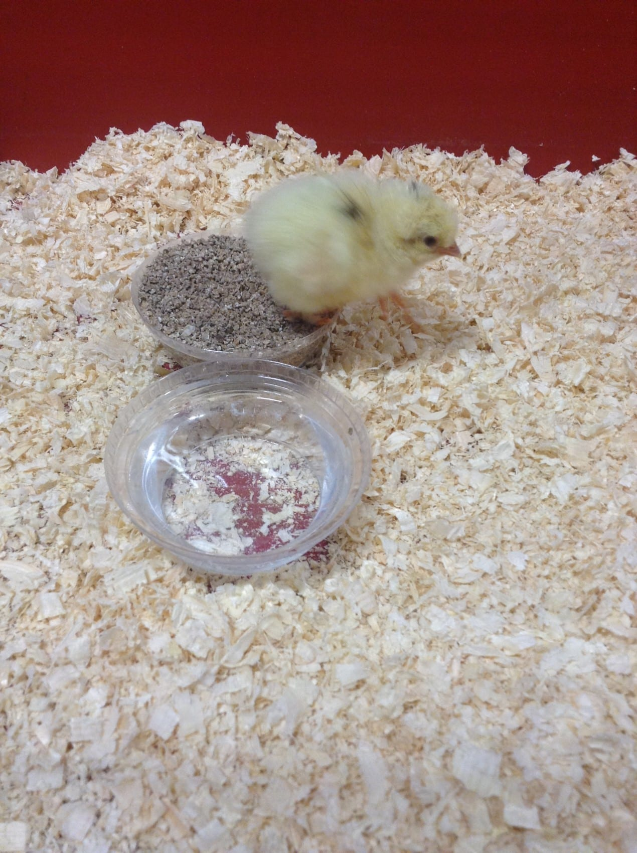 Chicks hatch in Year 2